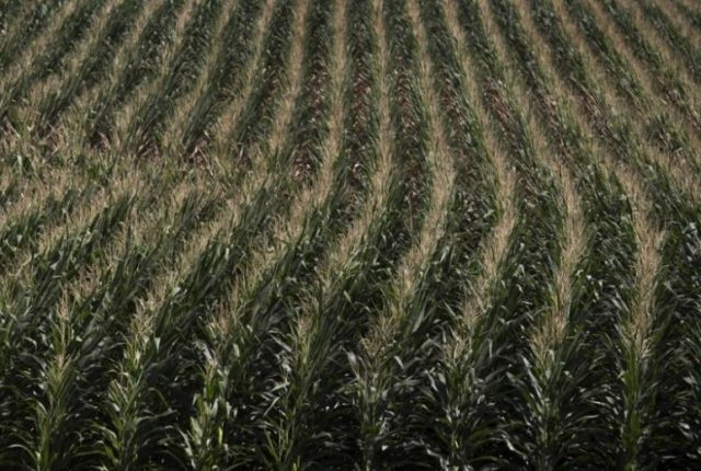 A corn field is seen in DeWitt, Iowa