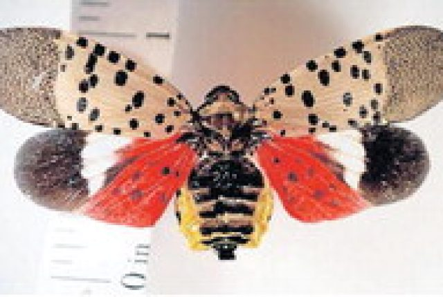 State's lanternfly outbreak has all of US growers worried